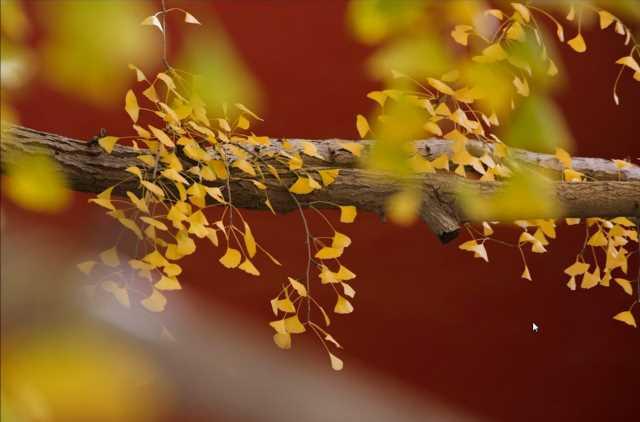 秋季摄影之满城尽是黄金叶