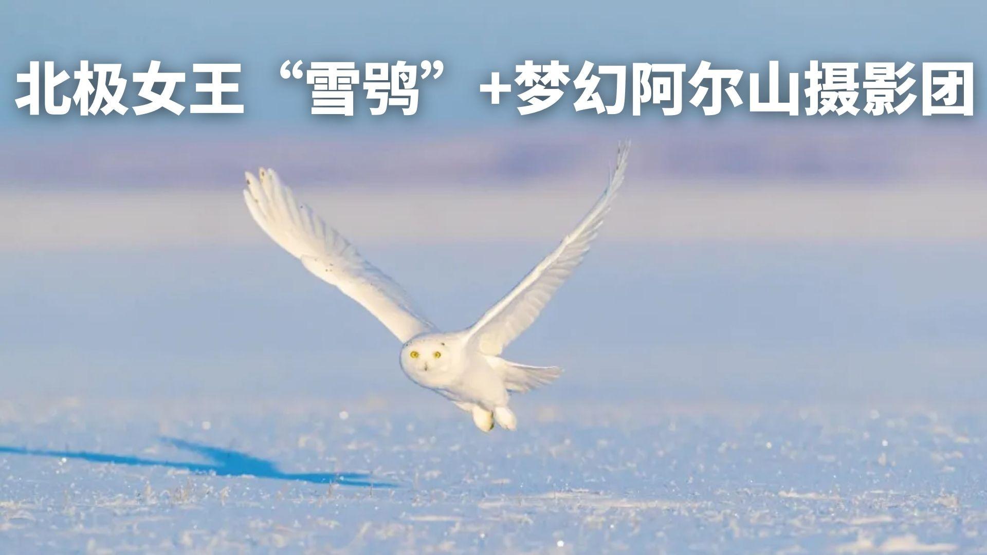"""北极女王""""雪鸮""""+梦幻阿尔山摄影团"""
